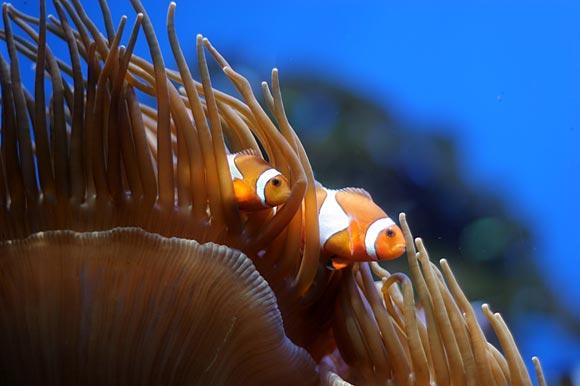 Clownfische im Riff