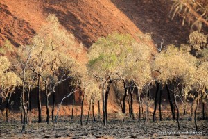 Bäume vor dem Uluru (Ayers Rock)