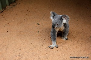 Koala im Lone Pine Koala Sanctuary