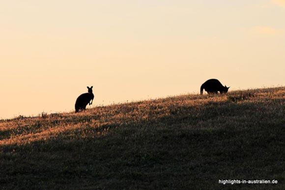 Kängurus auf der Känguruinsel