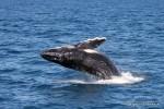 Wale beobachten in Australien